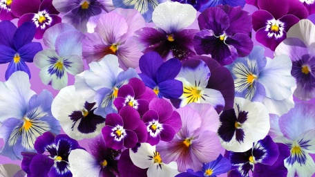 pansy winter seasonal flowers