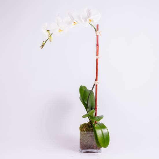 orchids-ode-a-la-rose-550x550-25943