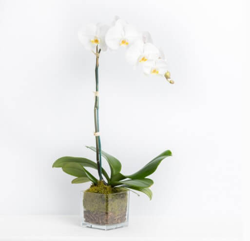 order orchid plant