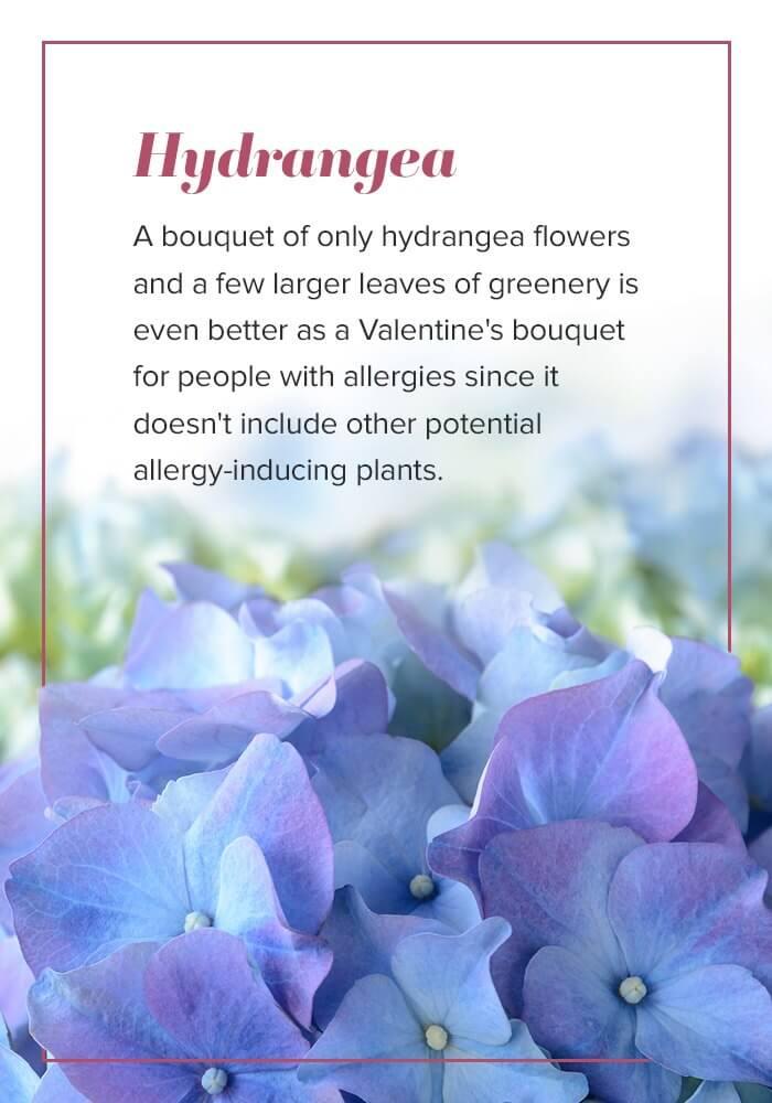 valentines hydrangeas